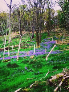 Patches of bluebells appear unexpectedly around the bends